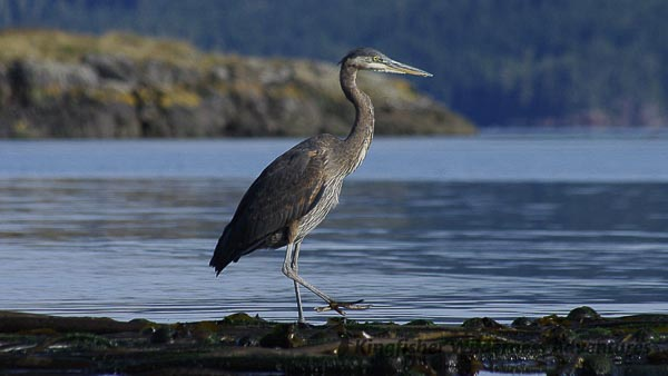 A great blue heron fishing from a kelp bed.