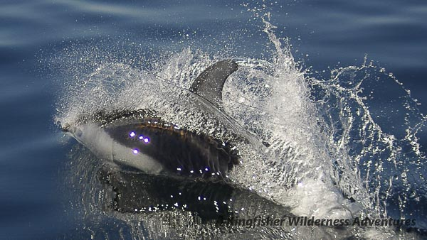 A Pacific white-sided dolphin.