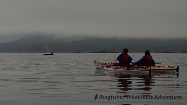 An orca swims past our kayaks in Johnstone Strait.