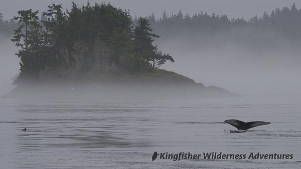 A humpback whale dives on a foggy morning. Just to the left you can see another humpback slipping beneath the surface.