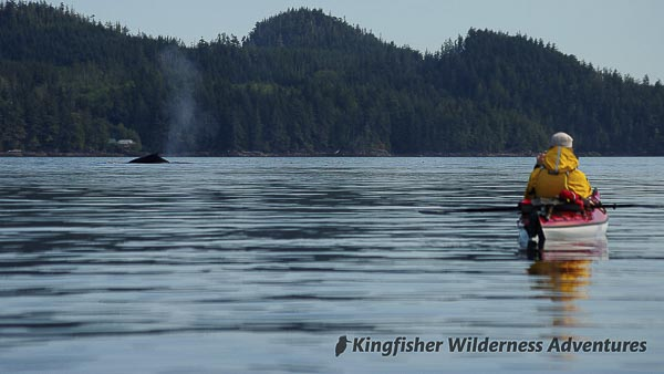 A humpback whale surfaces near our kayaks.