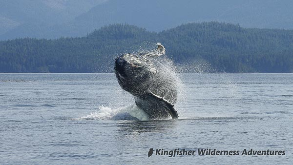 A humpback whale breaches in Blackfish Sound, not far from our base camps.