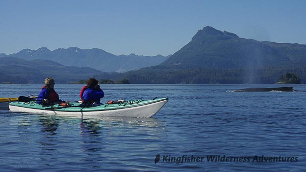 A humpback whale swims past our kayaks.