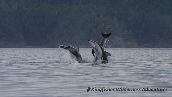 Pacific white-sided dolphins jumping in Blackfish Sound.