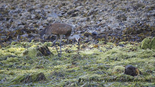 Northern Gwaii Haanas Kayak Tour - A sandhill crane looking for something to eat at low tide.