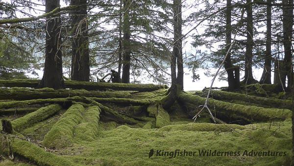 Northern Gwaii Haanas Kayak Tour - The rainforest is slowly reclaiming the ancient Haida village site of T'aanuu Llnagaay.