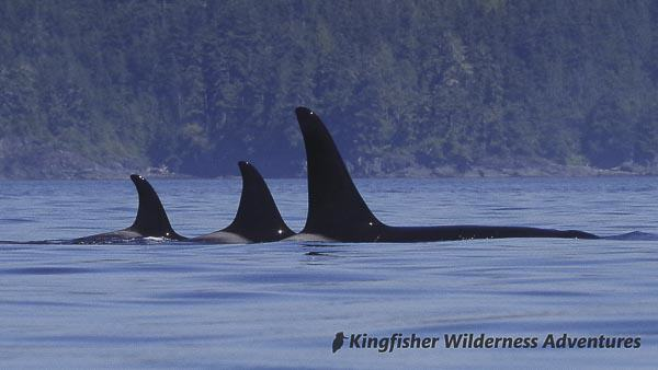 Orca Waters Explorer Kayak Tour - Northern resident killer whales, also called orcas.