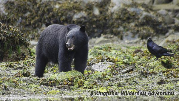 Orca Waters Explorer Kayak Tour - At low tide black bears forage along the beach and ravens follow close behind in the hopes of grabbing a morsel.