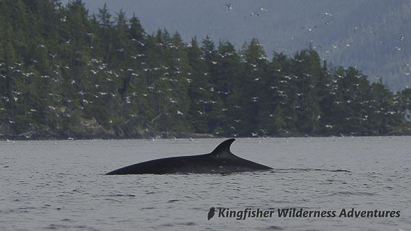 Orca Waters Explorer Kayak Tour - Minke whale.