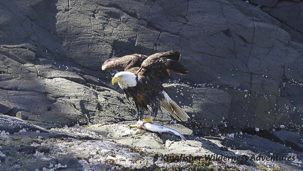 Orca Waters Explorer Kayak Tour - A bald eagle with a freshly caught salmon.