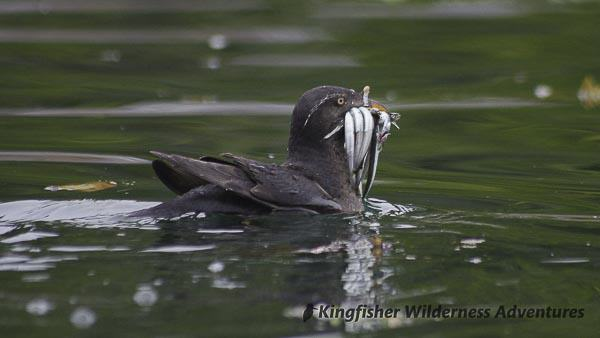 Orca Waters Explorer Kayak Tour - A rhinoceros auklet with a beak full of fish.