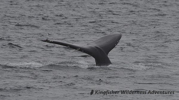 Orca Waters Explorer Kayak Tour - A humpback whale shows its tail fluke as it dives.