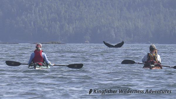 Southern Gwaii Haanas Kayak Tour - Humpback whales can be seen throughout Gwaii Haanas.