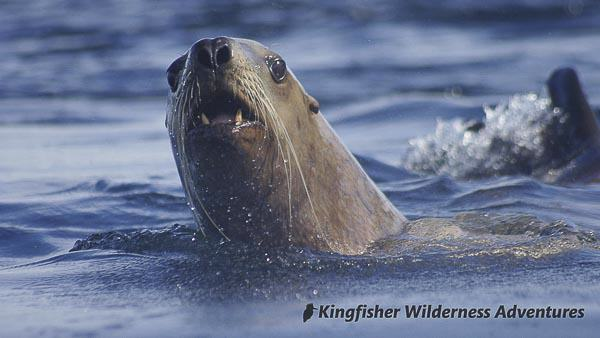 Southern Gwaii Haanas Kayak Tour - Steller sea lions can be found throughout Gwaii Haanas.