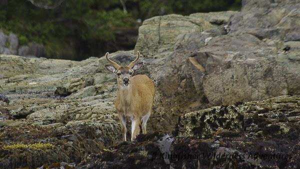 Southern Gwaii Haanas Kayak Tour - Deer were introduced to Haida Gwaii in the early 1900s and without any natural predators are now found in large numbers throughout the islands.