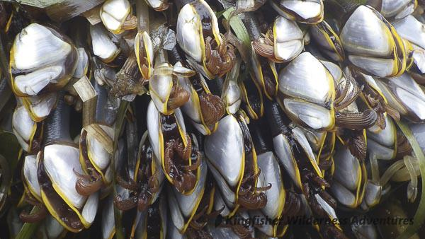 Southern Gwaii Haanas Kayak Tour - A pelagic species of goose neck barnacle found on floating debris.