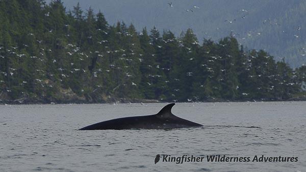 A Minke whale.