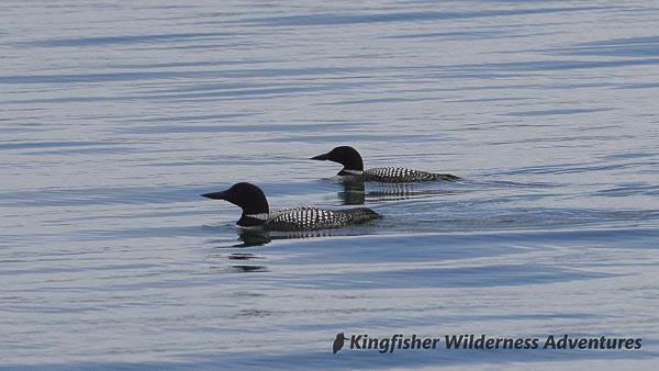 Great Bear Rainforest Kayak Expedition - Common loons.