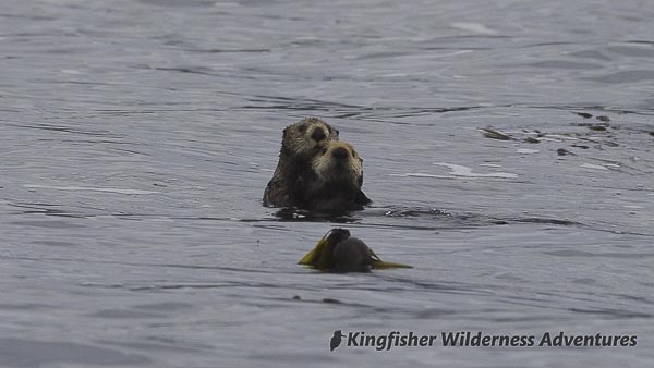 Sea Otter Explorer Kayak Tour - Sea otter mother and pup.