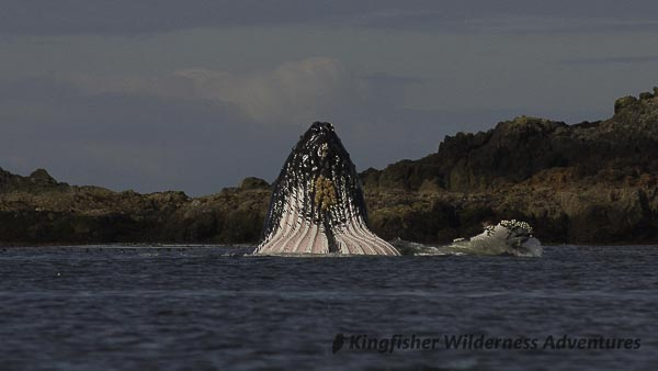 Sea Otter Explorer Kayak Tour - While not seen on every west coast trip, humpback whales often come close shore to feed.