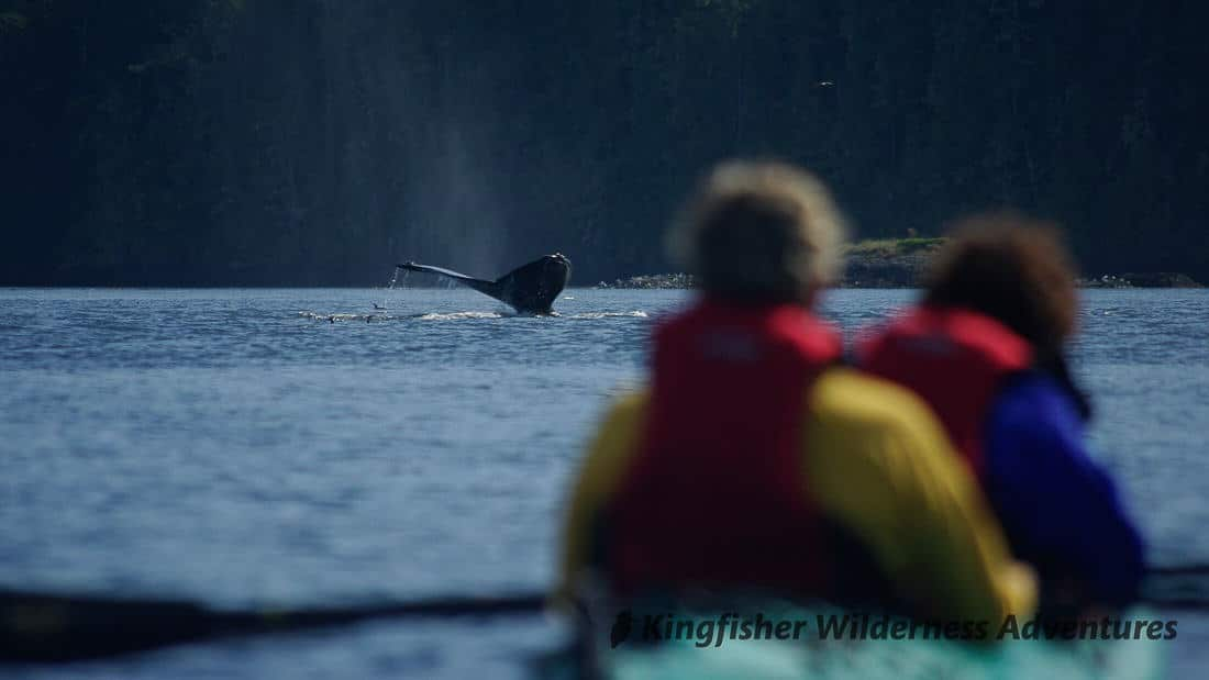 Whales Whales And Grizzly Bears Kingfisher Wilderness Adventures