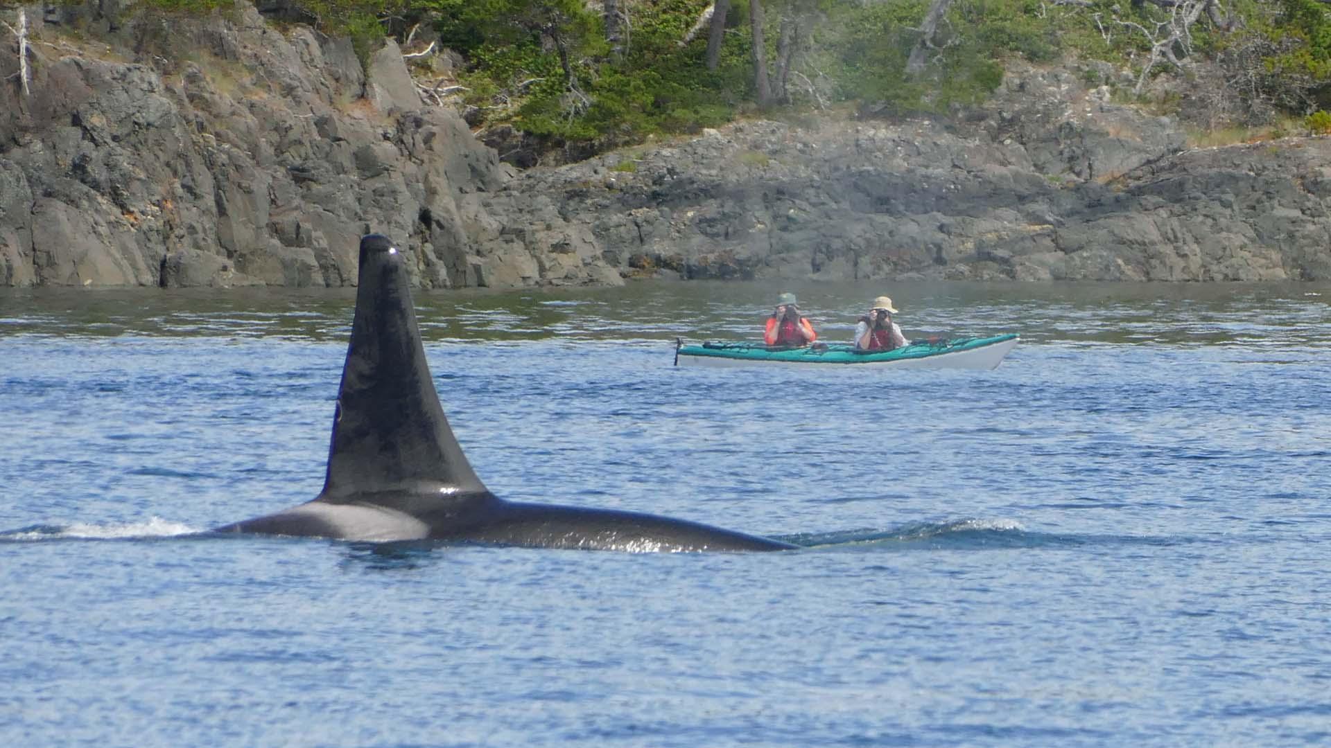Orca Waters Explorer Kayak Tour